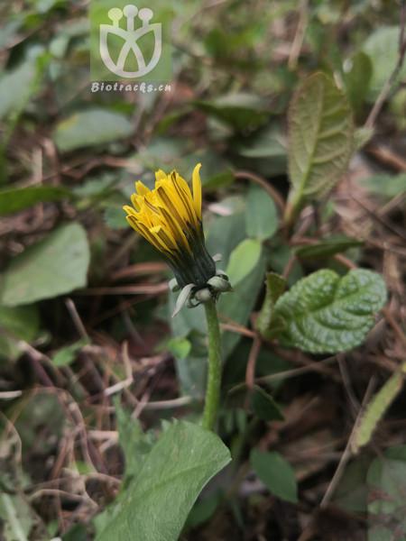 Salix varians