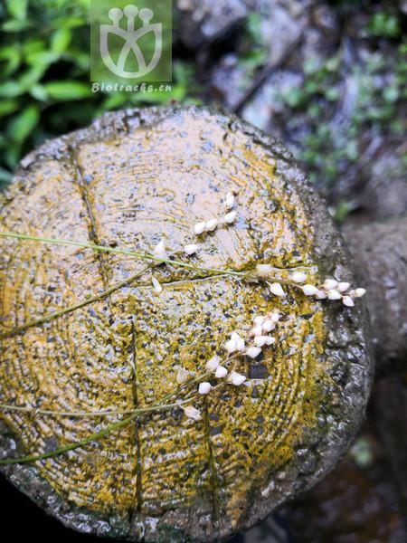 Aletris pauciflora