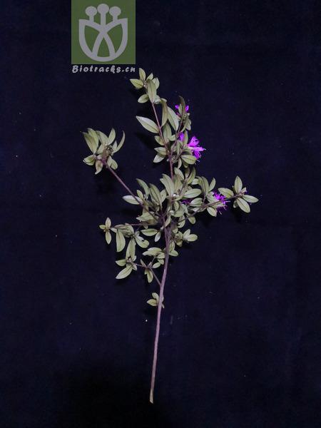 Daphne lichiangensis