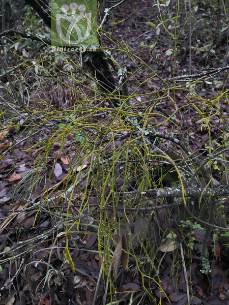 Acacia binervata