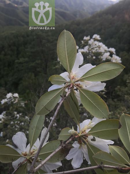 Daphne lamatsoensis