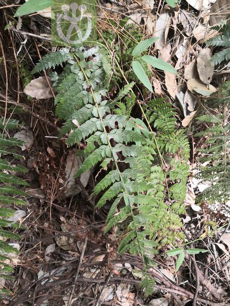 Acacia inaequiloba