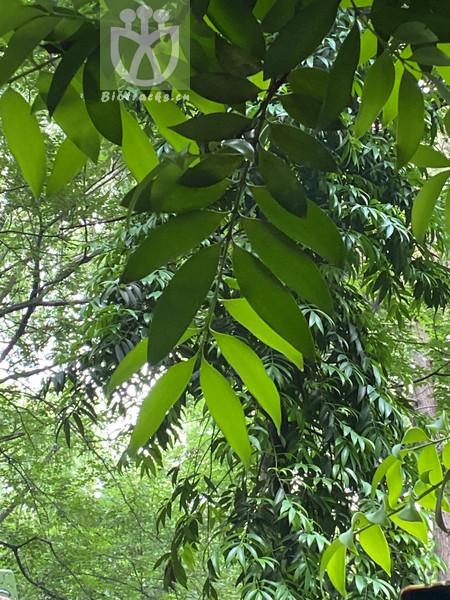 Podocarpus nagi