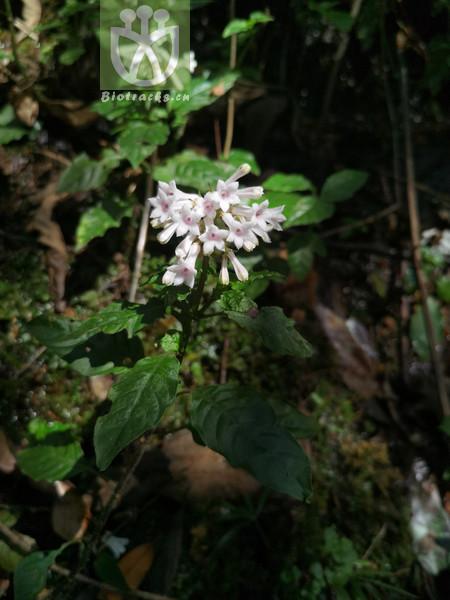 Caprifolium micranthum