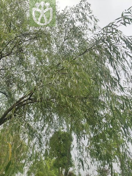 Salix babylonica
