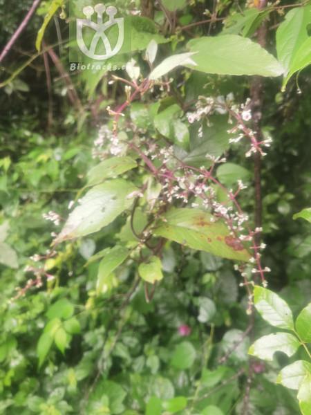 Acacia delibrata