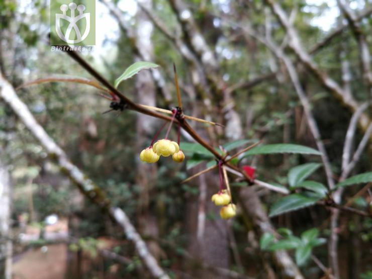Coptis chinensis