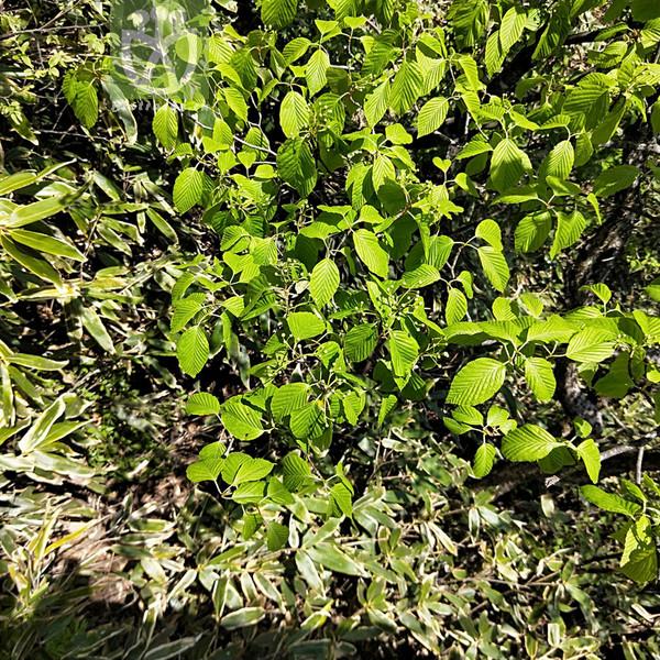 Sorbus hemsleyi