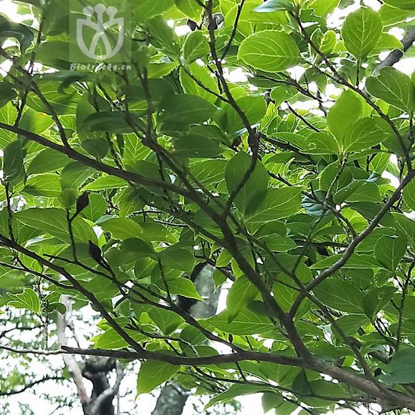 Stewartia glabra