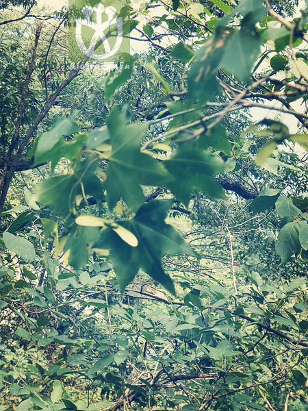 Acer mono