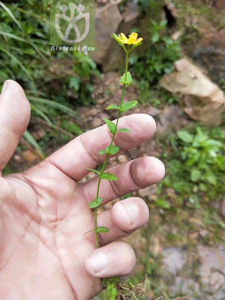 Hypericum japonicum