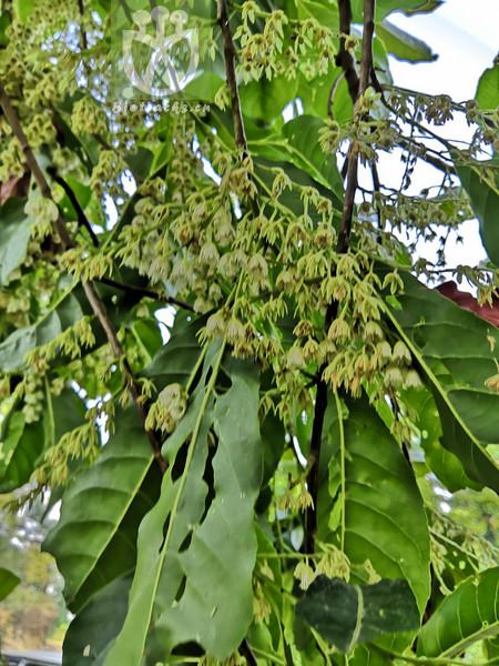 Elaeocarpus austro-yunnanensis