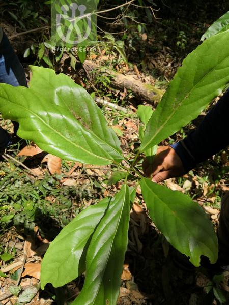 Elaeocarpus varunua