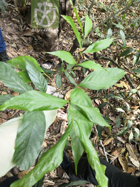 Aphania senegalensis