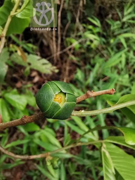 Uvaria yunnanensis