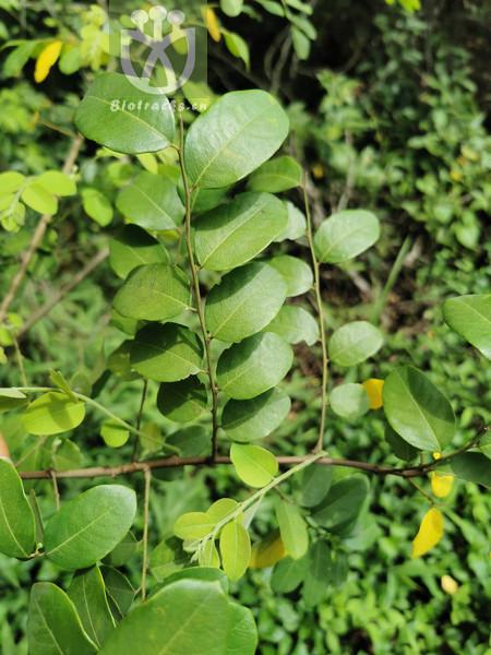 Glochidion flexuosum