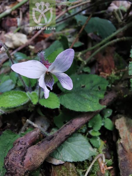 Salvia scapiformis var. carphocalyx