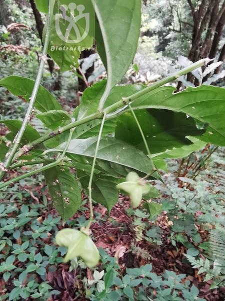 Euonymus sacrosanctus