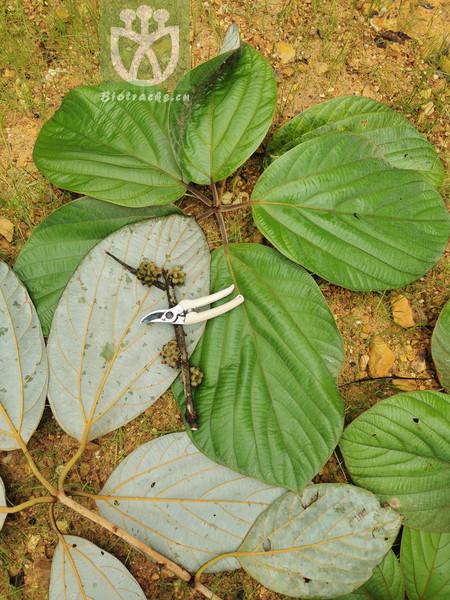 Paeonia linyanshanii