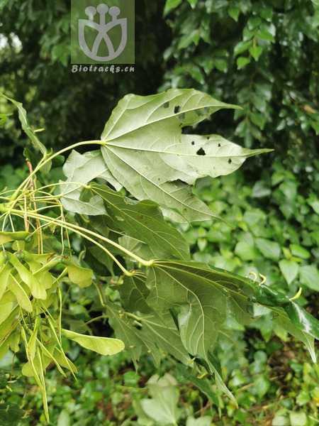Acer angustilobum