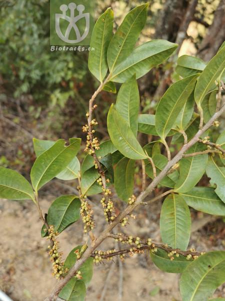 Acacia microcephala