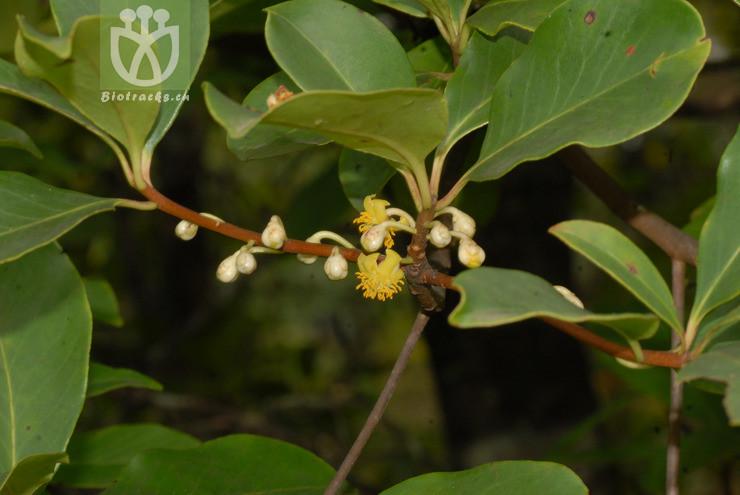 Ternstroemia japonica