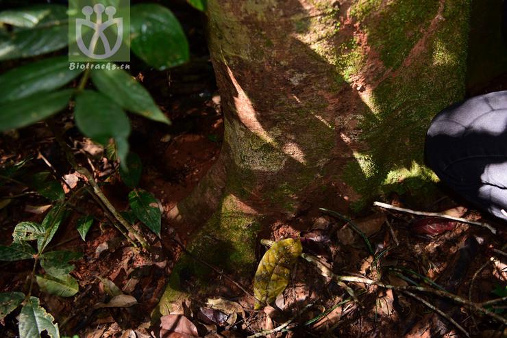 Elaeocarpus petiolatus