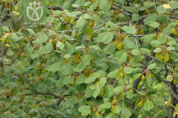 Burretiodendron kydiifolium
