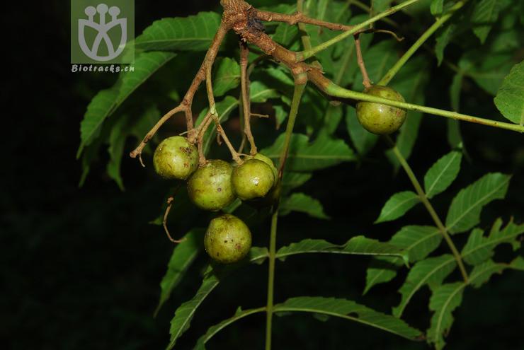 Canarium thorelianum