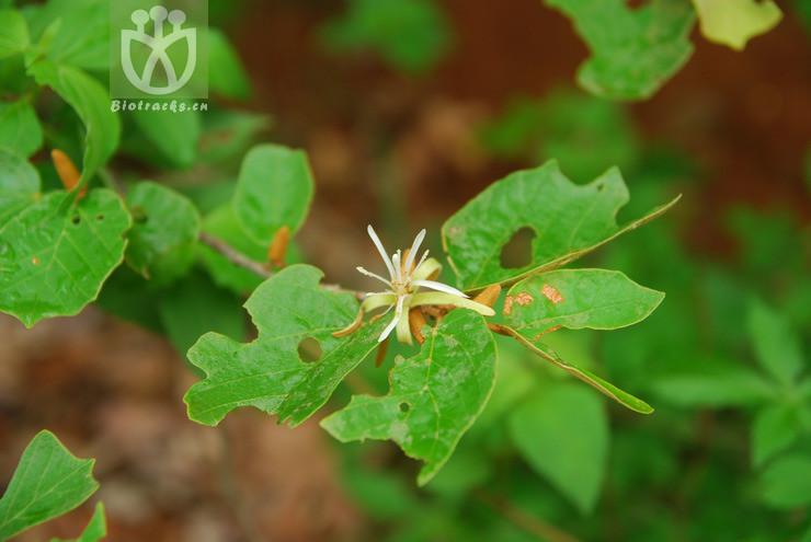 Pterospermum truncatolobatum