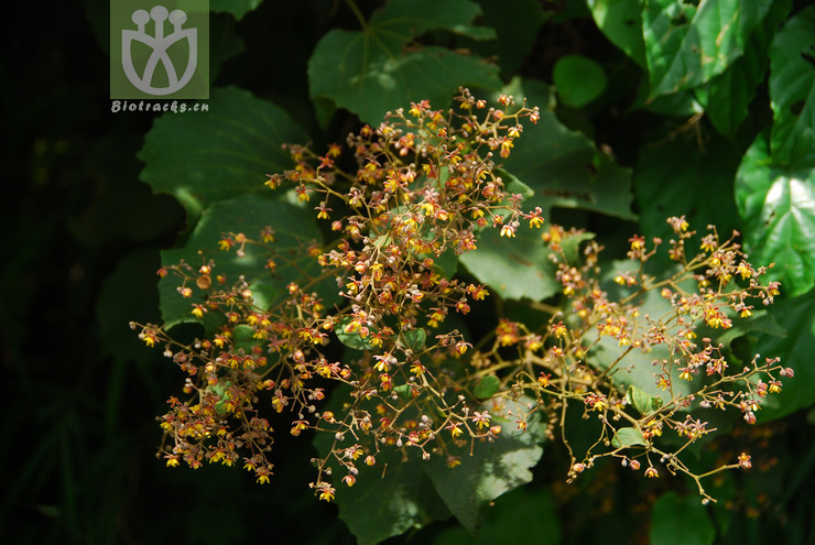 Eriolaena wallichii