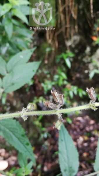 Salvia miltiorrhiza var. miltiorrhiza