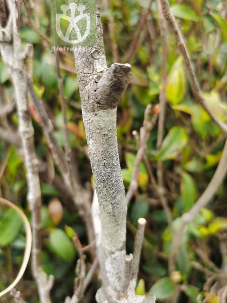 Buxus kitashimae