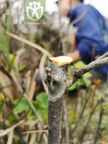 Buxus microphylla var. japonica