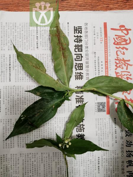 Aclisia secundiflora