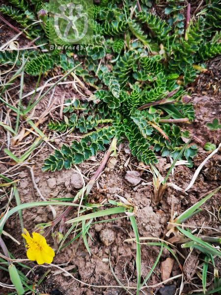 Coluria longifolia
