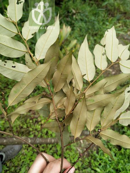 Castanopsis ceratacantha