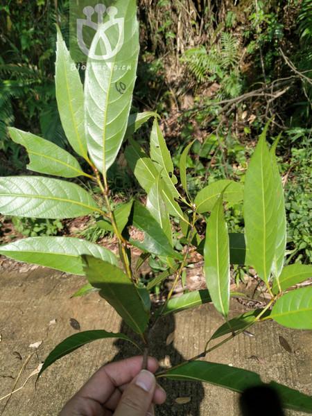 Castanopsis chinensis