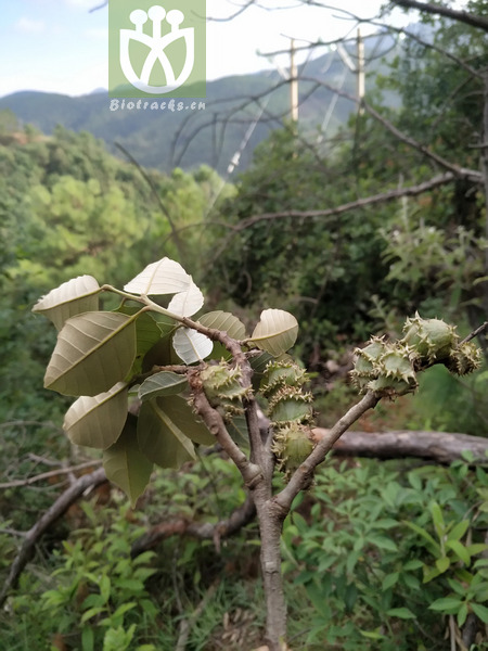 Castanopsis tsaii