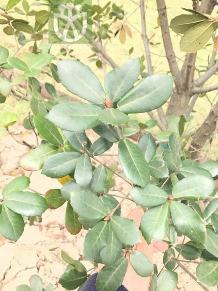 Quercus spathulata