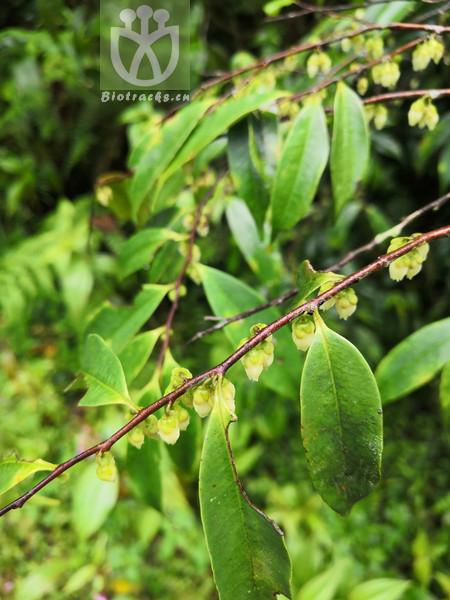 Acacia daviesioides