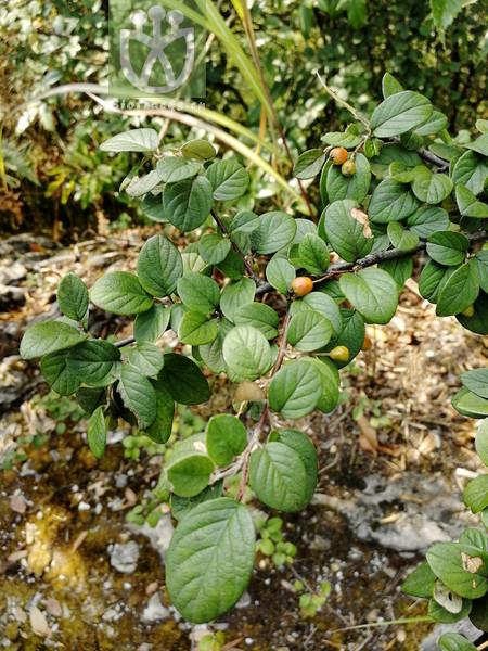 Castanopsis carlesii var. spinulosa