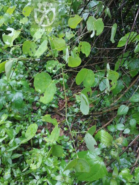 Kobresia pinetorum