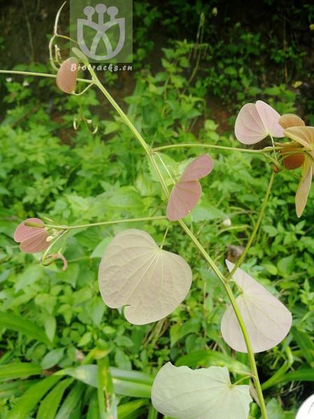 Kobresia lepidochlamys