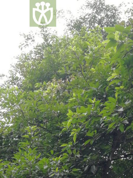 Potamogeton fontigenus