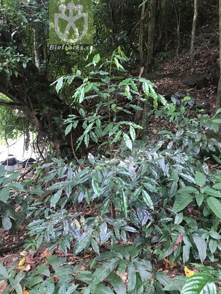 Aquilaria yunnanensis