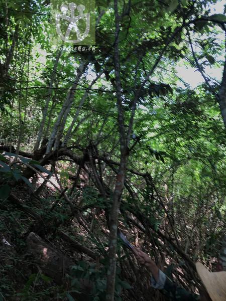 Pterospermum menglunense