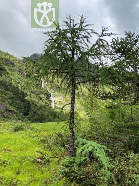 Salix leucophylla