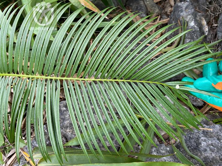 Cycas ferruginea