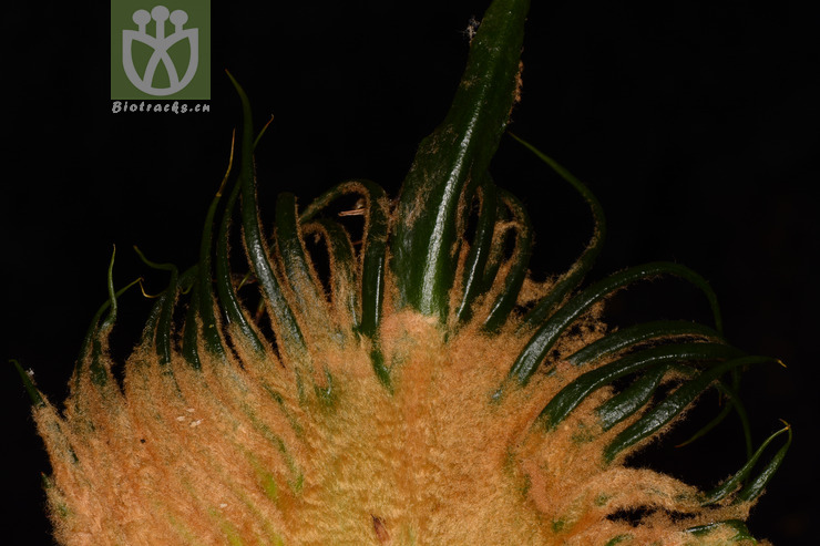 Cycas pectinata